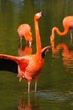 De klappende vleugels van de flamingo stock foto's