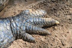 De klauwen van de krokodil stock afbeelding