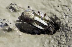 De klauwen van Ucadussumeri spinataThe van fiddlerkrab Royalty-vrije Stock Foto's