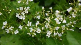 De klein-kern witte bloem van Cardamineparviflora op het gebied stock videobeelden