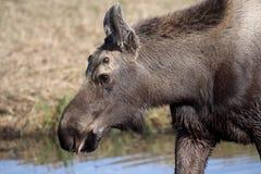 De kleine Amerikaanse elanden van de Stier Royalty-vrije Stock Foto
