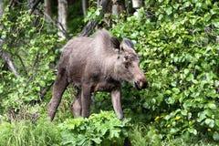De kleine Amerikaanse elanden van de Stier Royalty-vrije Stock Afbeeldingen