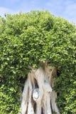 De kleine bladeren van de ficusboom Stock Afbeelding