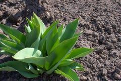 De kleine bladeren van tulpen groeien in de grond in de lente stock fotografie