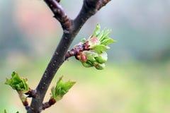 De kleine de bladerenmacro van Apple Royalty-vrije Stock Afbeelding