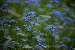 De kleine blauwe bloei van bloemenbrunner macrophiles in de de lentetuin stock foto