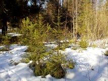 De kleine bomen in het de winterbos Stock Foto