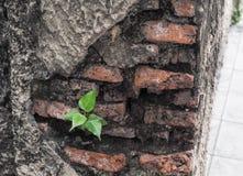De kleine boom is de groei op oude baksteen royalty-vrije stock foto