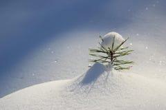 De kleine boom van de Pijnboom Stock Foto