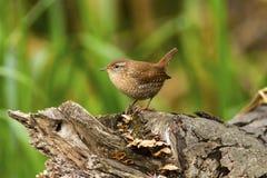 De kleine bruine die vogel van het de Winterwinterkoninkje op een oude boomstomp wordt neergestreken Stock Fotografie