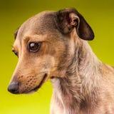 De kleine bruine korte hond van de haartekkel Stock Foto