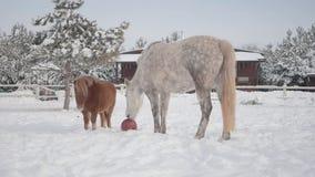 De kleine bruine poney en het grote witte gevlekte paard brengen in openlucht tijd bij een de winterboerderij door Paard die rode stock video