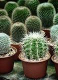 De Kleine cactus op potten natuurlijke achtergrond Royalty-vrije Stock Afbeelding