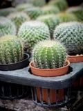 De Kleine cactus op potten natuurlijke achtergrond Stock Foto