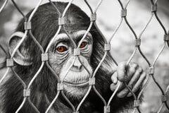 De kleine droevige aap van de babychimpansee met bruine ogen royalty-vrije stock foto's