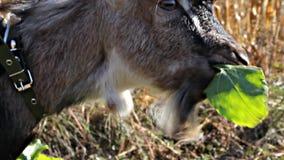 De kleine geit scheurt en eet een blad stock video