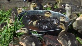 De kleine gekleurde eendjes baden in een kleine tank op een zonnige de zomerdag stock video