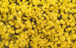 De kleine gele bloemen bloeiden in de lente in de tuin Close-up stock foto's