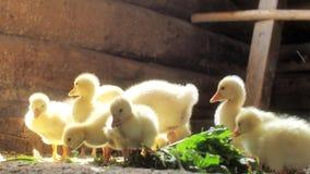 De kleine gele ganzen plukken groen gras Kuikens het eten stock videobeelden