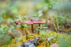 De kleine giftige paddestoelen groeien in het mos in het bos royalty-vrije stock fotografie