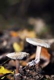 De kleine giftige paddestoelen, sluiten omhoog Stock Afbeeldingen