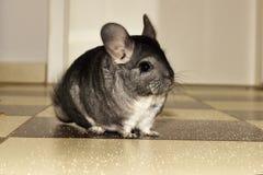 De Kleine grijze chinchilla binnenshuis Royalty-vrije Stock Fotografie