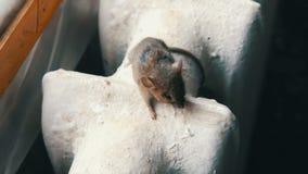 De kleine grijze huismuis zit op een uitstekende oude gietijzer het verwarmen batterij in het huis stock video