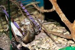 De kleine grijze muislooppas in een gekooid wiel royalty-vrije stock foto