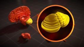 De kleine hersenen - 4k resolutie vector illustratie
