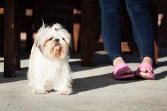 De kleine hond van Shihtzu Stock Foto's