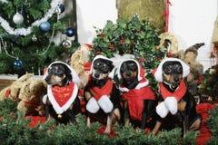 De kleine honden kleedden zich als Kerstman met groeten stock afbeeldingen