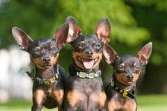 De kleine honden van de boom royalty-vrije stock afbeelding