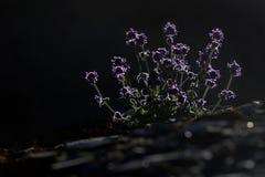 De kleine installatie van de thymestruik met purpere bloemen in de het plaatsen zon: stelen en bloemen rond de contouren, donkere Royalty-vrije Stock Foto