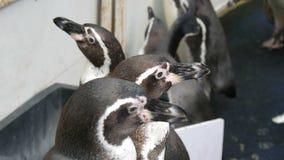 De kleine jonge pinguïnen lopen langs een gang in de dierentuin Vele pinguïnen lopen grappig stock video