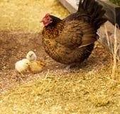 De kleine kip van piepkuikens met kuikens Royalty-vrije Stock Foto's