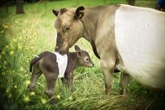 De kleine koe stock afbeelding