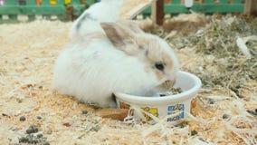De kleine konijnen eten en hebben pret in de paddock stock videobeelden