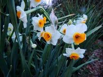 De kleine Kopgele narcis bloeit oranje en witte mooie mooie omhoog dichte macro Narcissen, soort van hoofdzakelijk de lente eeuwi Stock Fotografie