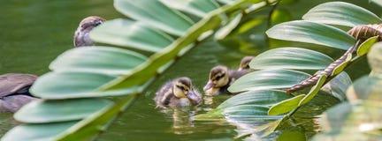 De kleine kuikens zwemmen naast hun moeder royalty-vrije stock foto's