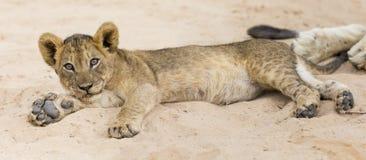 De kleine leeuwwelp bepaalt om op het zachte zand van Kalahari te rusten royalty-vrije stock foto