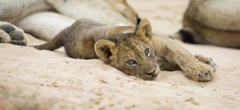 De kleine leeuwwelp bepaalt om op het zachte zand van Kalahari te rusten stock foto's