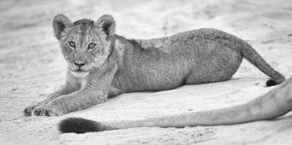 De kleine leeuwwelp bepaalt om op het zachte zand van Kalahari te rusten en w te spelen stock foto