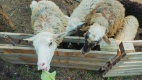 De kleine leuke meisjes voeden schapen op een landbouwbedrijf met watermeloenschillen en installatiebladeren stock footage