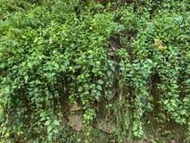 De kleine maagdenpalm is species van bloeiende installatie inheems aan centraal en zuidelijk Europa royalty-vrije stock afbeeldingen