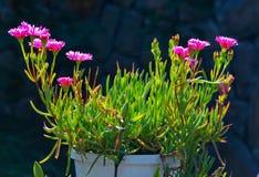 De kleine mooie bloemen van roze carpobrotus in een witte pot sluiten omhoog Stock Foto