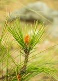 De kleine pijnboom groeit op hoogland Royalty-vrije Stock Afbeeldingen
