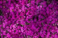 De kleine purpere achtergrond van de bloementextuur Stock Afbeelding