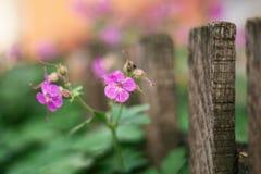 De kleine purpere bloemen in tuin naast woodden omheining royalty-vrije stock afbeeldingen
