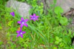 De kleine purpere klokken groeien op een bosopen plek Royalty-vrije Stock Fotografie
