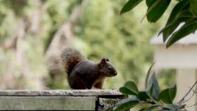 De kleine rode eekhoorn zit op omheining rond kijkend stock videobeelden